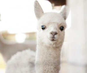 animal, cute, and alpaca image