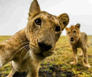 lion, selfie, and animal image