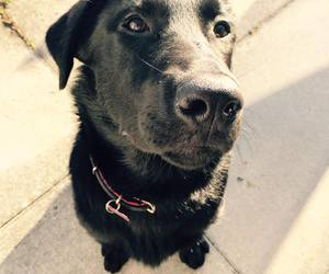 black lab, dog, and dogs image
