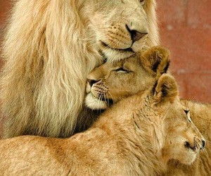 cuddling, female, and lions image