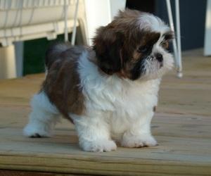 puppy, shih tzu, and cute image