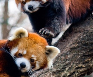 animal, Red panda, and panda image