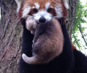 australia, baby animals, and bears image