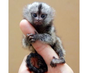 monkey, cute, and animal image