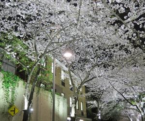 japan, sakura, and tree image