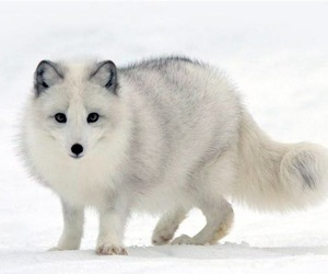 arctic fox and white image