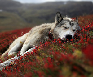 resting, wilderness, and wolf image