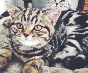 british shorthair, silver tabby, and golden tabby image