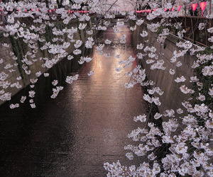 cherry blossom and japan image