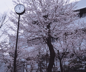 cherry blossom, photography, and cherry tree image