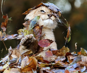 leaves, cute, and lion cub image