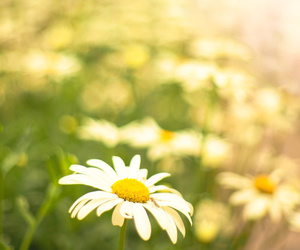 daisies, floral, and flowers image