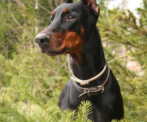 dobermann and dog image