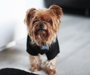 cute dogs, yorkie, and fashionlush image