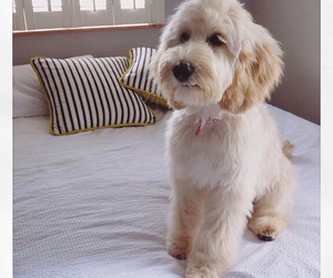 cute puppy, fluffy, and luxury image
