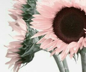 flowers, pink, and sunflower image