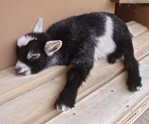 goat and cute image