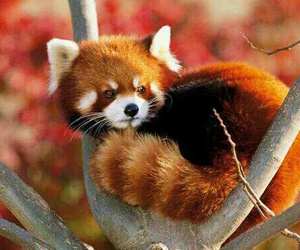animal, Red panda, and cute image