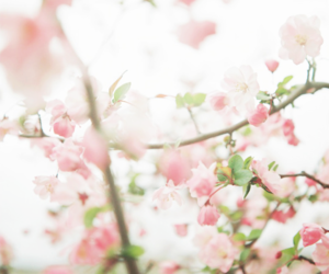 blossom and pink image