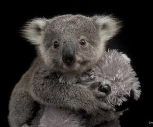 australia, cute animals, and Koala image