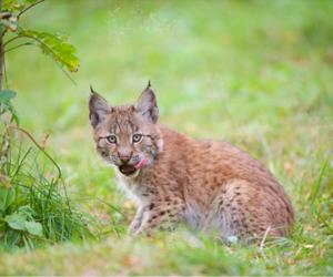 animal, lynx, and wild life image