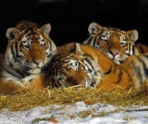 cubs, tiger cub, and tiger cubs image