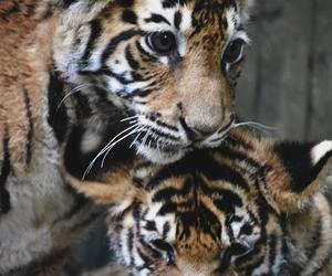 animal, tiger, and tigers image