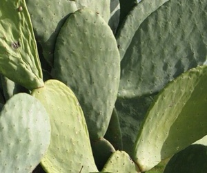 cactus and prickly pear image