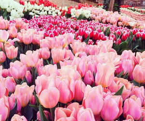 flower, flowers, and tulip image