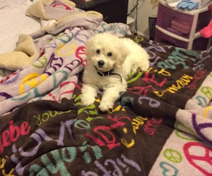 dog, maltese, and puppy image