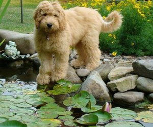blondie, dog, and fluffy image