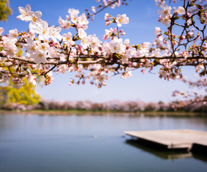 alternative, pink, and cherry blossoms image