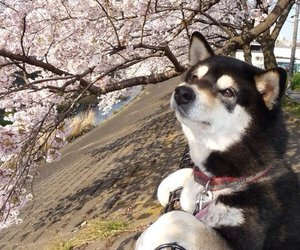 dog, japan, and sakura image