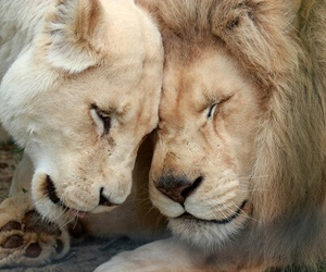 lion, true love, and cute image