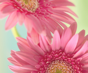 pink, flowers, and gerbera daisies image