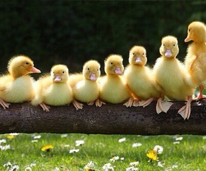 duck, duckling, and yellow image