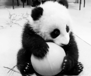love, panda, and cute image