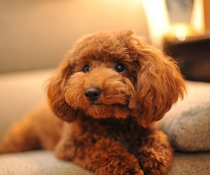 brown, poodle, and toy image