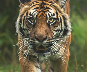 photography, animals, and tiger image