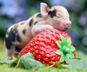 pig, strawberry, and animal image