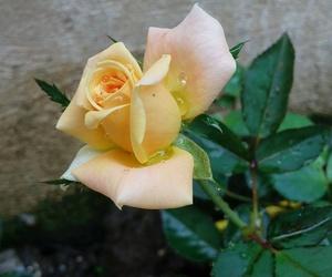 rosa and natura image
