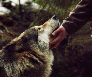 animals, hands, and wolf image
