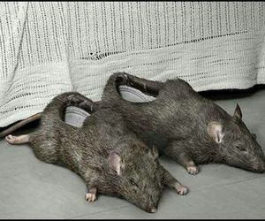 slippers, rat, and want them now image