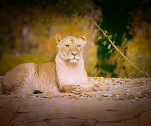 leaves, lioness, and nice image