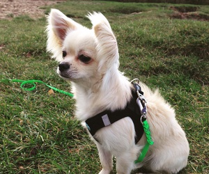 chihuahua, fluffy, and puppy image
