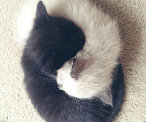 black & white, fluffy, and kitten image