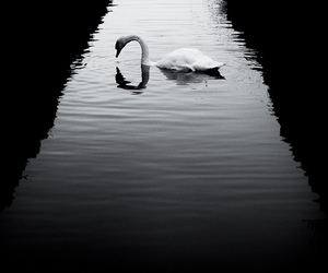 black and white, Swan, and water image