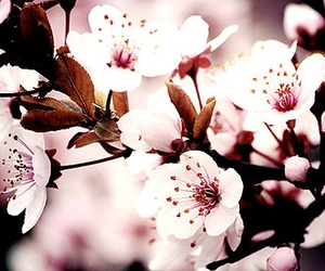 flowers, blossom, and cerisier image