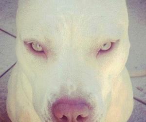 dog, white, and pitbull image