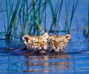 tiger and cub image